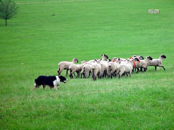Meget godt trent border collie gjeter en flokk med sauer i åkeren.