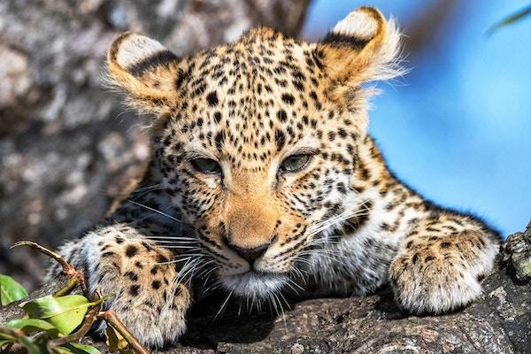 Leopard Cub of the Tlangisa Female Leopard. Photo'd i Dulini Private Game Reserve, Sabi Sands, Sør-Afrika.