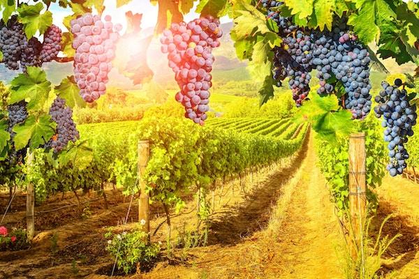 Sesongmessig bakgrunn. Pittoresk vingård ved solnedgang. Røde druer som henger i vingården. Rader med druer i Stellenbosch nær Cape Town, Sør-Afrika. Gren av druer klare til høsting.