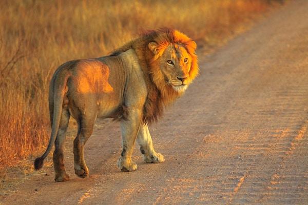 Voksen mannlig løve som står på grusvei inne i Kruger nasjonalpark, Sør-Afrika. Panthera Leo i naturtypen. Løven er en del av de populære Big Five. Soloppgang lys. Fra siden.