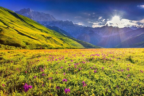 Blomstrende rosa blomster i de kaukasiske fjellene. Øvre Svaneti; Georgia; Europa.