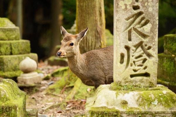 Hjort i Nara, Japan
