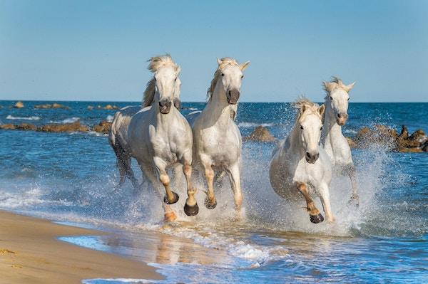 Herd of White Camargue Hors renner raskt gjennom vann i solnedgangslys. Parc Regional de Camargue - Provence, Frankrike