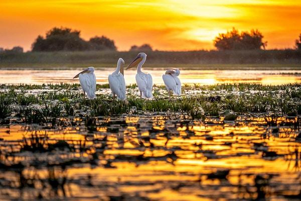 Donau-deltaet, Romania. Pelikaner ved soloppgang