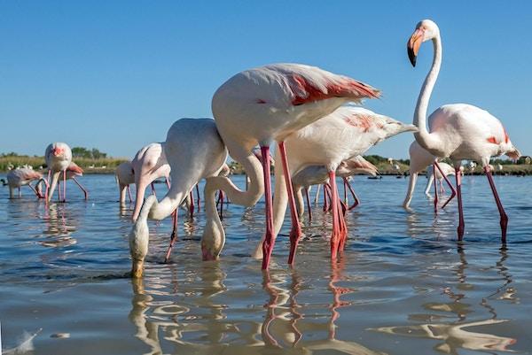 En stor gruppe rosa flamingoer fotografert nedenfra (Camargue, Frankrike)