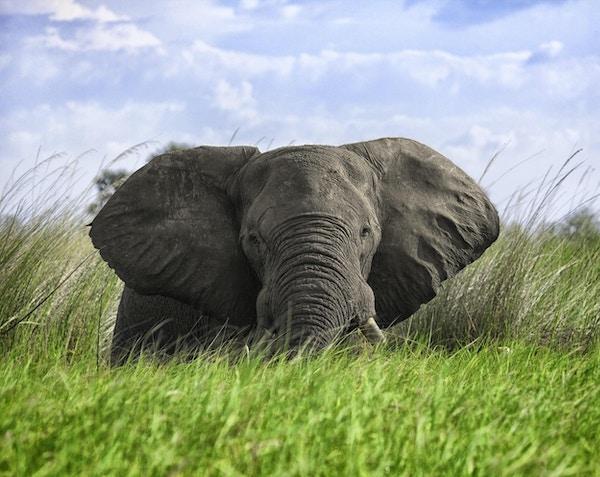 Elefantmøte i dypt gress i Okavangodelta