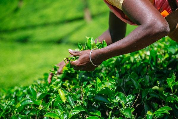 Tamil plukker som plukker teblad på plantasjen nær Nuwara Eliya, Sri Lanka. Skudd tatt med Canon 5D mk III