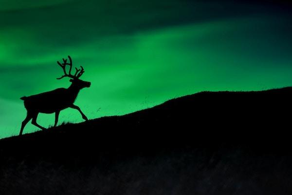 Silhuett av et hjort mot en bakgrunn av Borealis som skinner om natten
