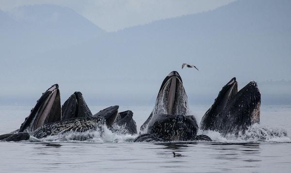 Pukkelhval som koordinerer og jobber sammen for å boble nettfôringsild. De blåser en ring av bobler under vann for å felle den lille fisken og deretter raste ut fra sentrum av boblingen med åpne munner og store sprut, bare i Alaska