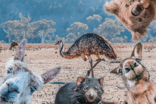 Morsom collage av dyr som bor i Australia - Emu, Koala, Kangaroo, Tasmanian Devil og Alpaca