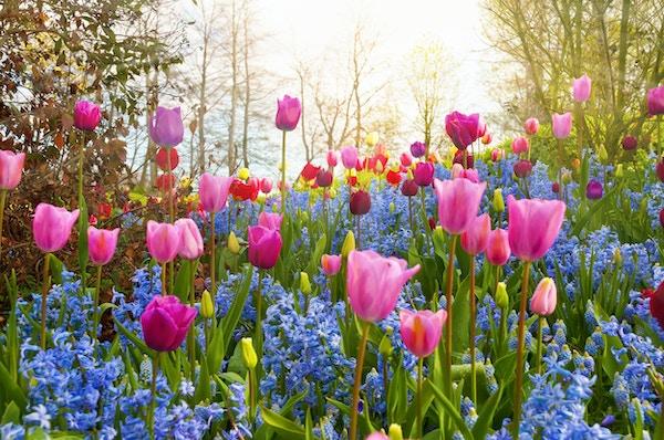 """""""Flerfargede vårblomster i en park. Plasseringen er Keukenhof-hagen, Nederland. Andre tulipanbilder:"""""""