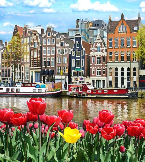 Vakkert landskap med tulipaner og hus i Amsterdam, Holland (gratulasjonskort - konsept)