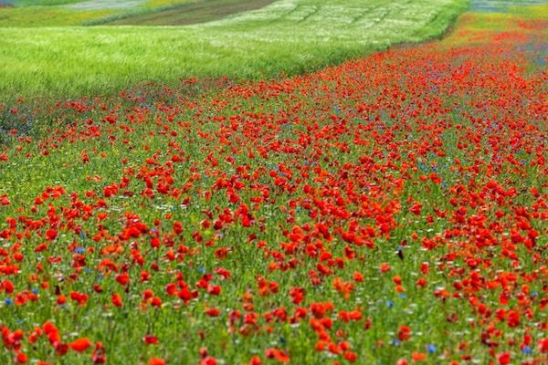 Blomstereng med valmueblomster, bokhvete og andre blomster, Italia. Fokus på forgrunnen. Ingen mennesker, Nikon D3x