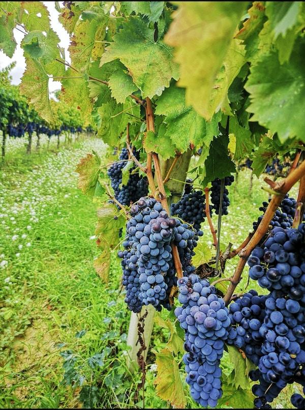 Vindruer henger på vinranker.