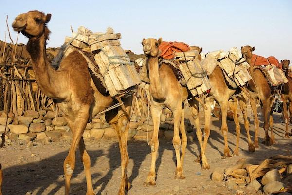 Kamelkaravaner på opptil 3000 dyr vandrer gjennom landsbyen vi overnatter i.