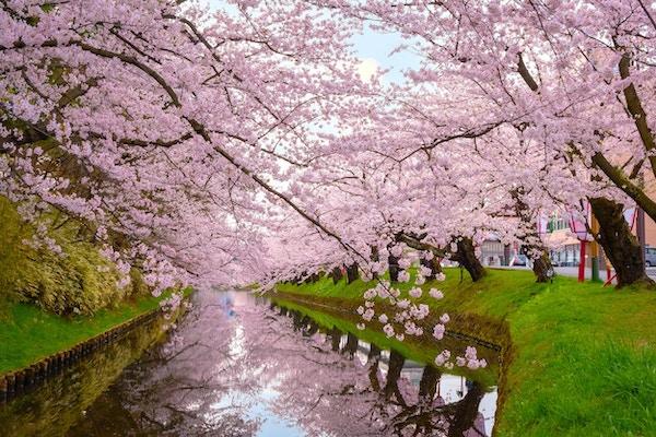 Sakura - Cherry Blossom i Hirosaki-parken, en av de vakreste sakura-stedene i Tohoku-regionen og Japan