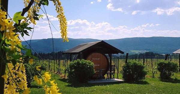 Lerkekåsa vingård, drueplanter