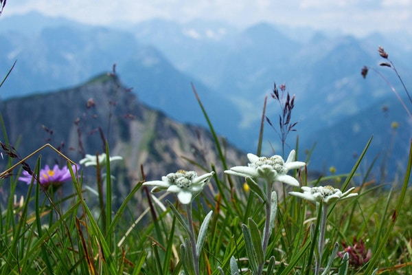 Sveits edelweiss