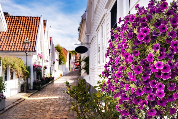 Lavander stemorsblomster blomstrer utendørs i sentrum av Stavanger, Norge.