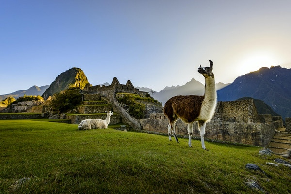Lamaer som hviler på en terrasse under det første lyset på ruinene av Inca-byen Machu Picchu, Peru.