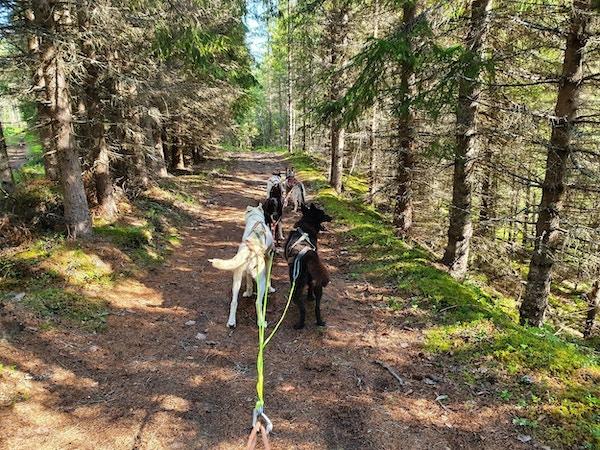 Huskyer drar hundespann gjennom skog.