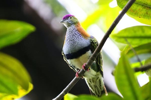 Vakker fruktdue eller Crimson-kronet fruktdue (Ptilinopus porphyraceus), også kjent som Purple-capped Fruit Dove.