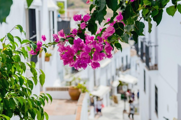 Bougainvillea i gatene i Frigiliana, Malaga, Spania