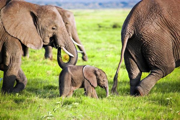 Elefantfamilie på afrikansk savanne. Safari i Amboseli, Kenya, Afrika
