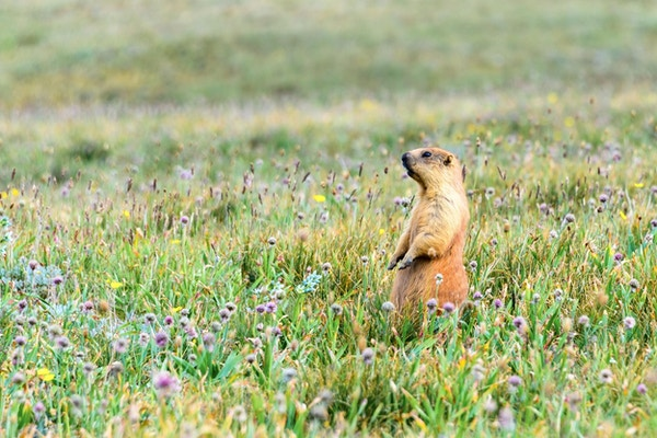 Murmeldyr står på to bein og stirrer i en blomsereng.