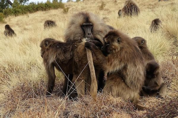 Gelada-bavianer i naturskjønne Simien Nasjonalpark