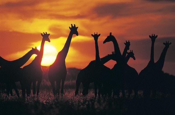 Giraffer i siluett i Mabula-parken.