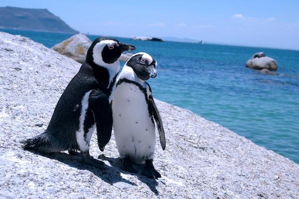 Ved Boulders Beach får du se pingviner i fri utfoldelse.