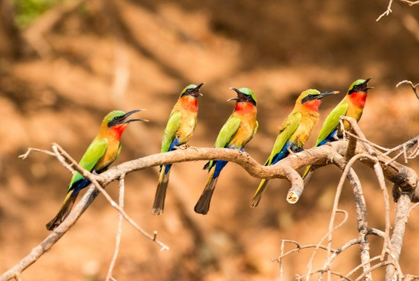 Dyrelivet i Vest-Afrika er også ekstra fargerikt.