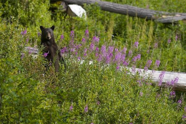 En svartbjørn står ved siden av sykkelstien ved Whistler Bike Park i British Columbia, Canada.