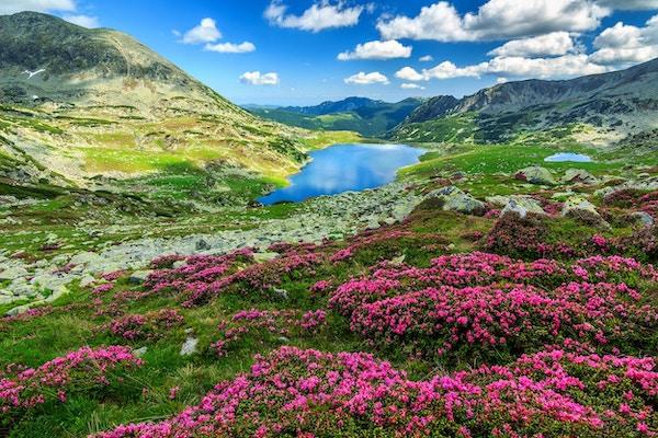 Høye fjell og fantastiske rosa rhododendron, Retezat nasjonalpark, Karpatene, Romania, Europa