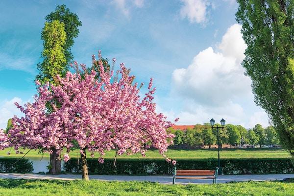 Sakuratre i blomstring. Benk og lykt nær stien. Solfylt vårformiddag. Uzhgorod, Ukraina.