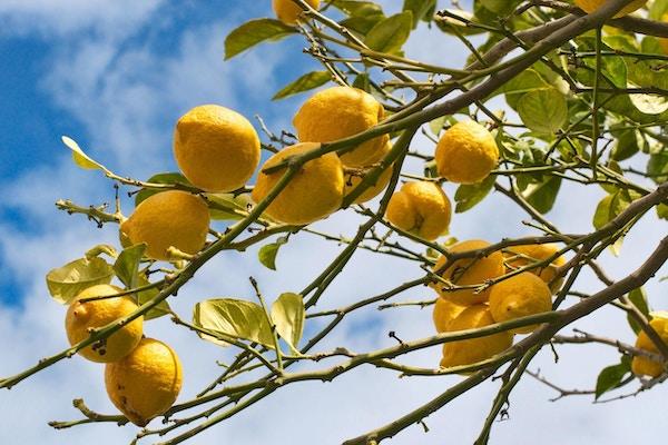 Sitroner på trær på Amalfikysten.