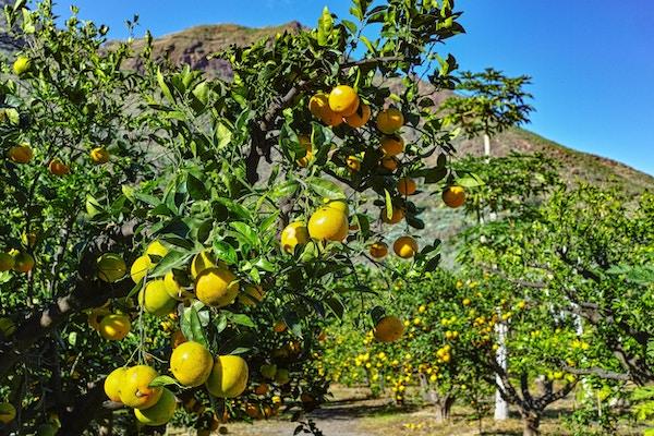 Appelsinplantasje i Agaete-dalen, Gran Canaria, Kanariøyen, Spania