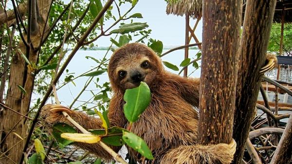 Dovendyr i trærne, Mellom-Amerika