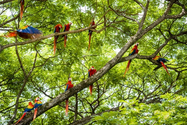 En flokk med ville skarlagensrøde papegøyer i et tre. Tatt i Guanacaste, Costa Rica.