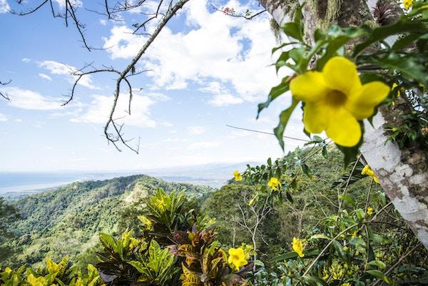 En gul blomst i natur i Puntarenas, Costa Rica