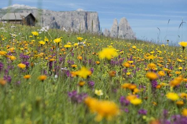 Blomstereng i Seiser Alm.