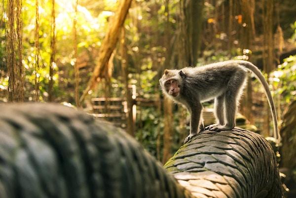 Ape i Monkey Forest i Indonesia.
