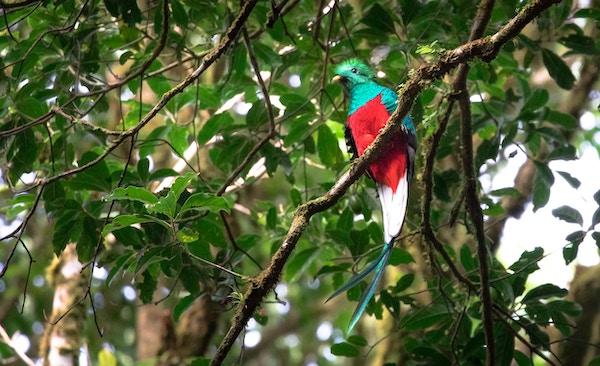 Quetzal i Monteverde-området, Costa Rica.