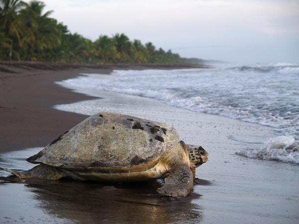 Havskilpadde i sanden for å legge egg, Tortuguero nasjonalpark, Costa Rica