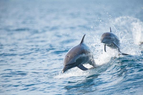 To delfiner over havoverflaten.