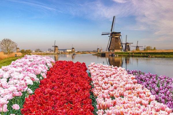 Nederlandsk vindmølle ved Kinderdijk Village med tulipanfelt.