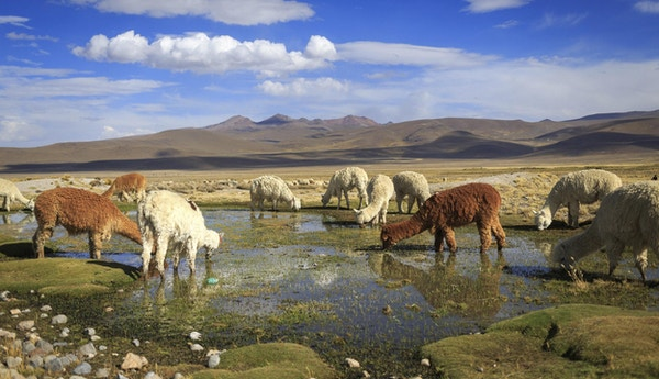 Lamaer slukker tørsten i vakre omgivelser langs veien til Arequipa