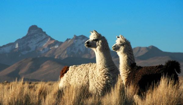 Alpakka i Urubambadalen.