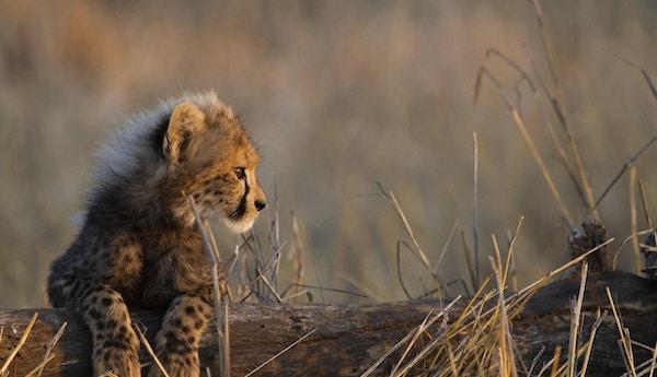 En gepardunge som hviler bena på en trestubbe